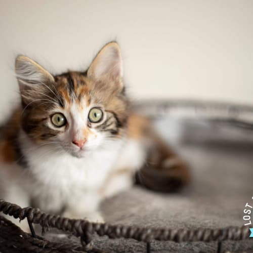 Tiger Lily - Domestic Medium Hair Cat