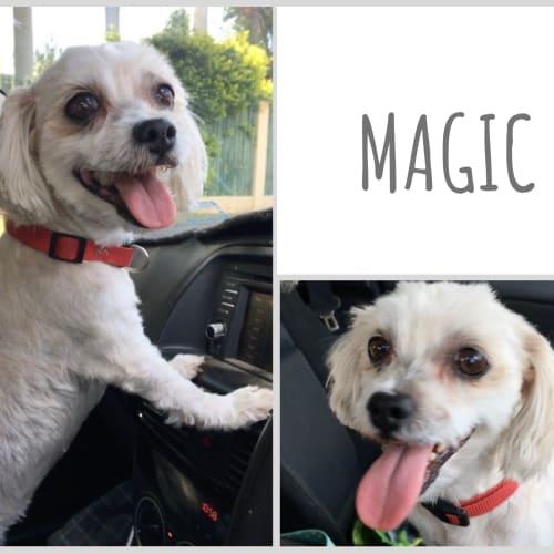 Magic and Maestro - Maltese Dog