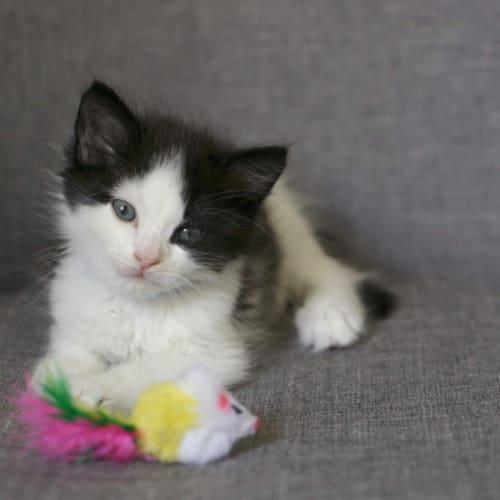 Rylan - Domestic Medium Hair Cat