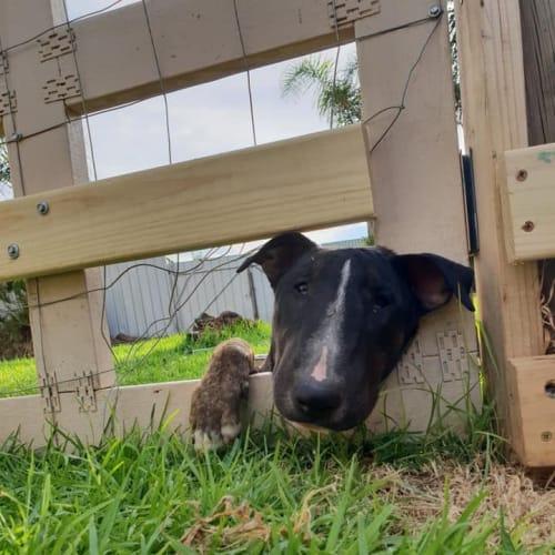 Sebastian - foster Carer needed - Bull Terrier Dog