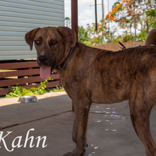 Khan - Mastiff x Wolfhound Dog