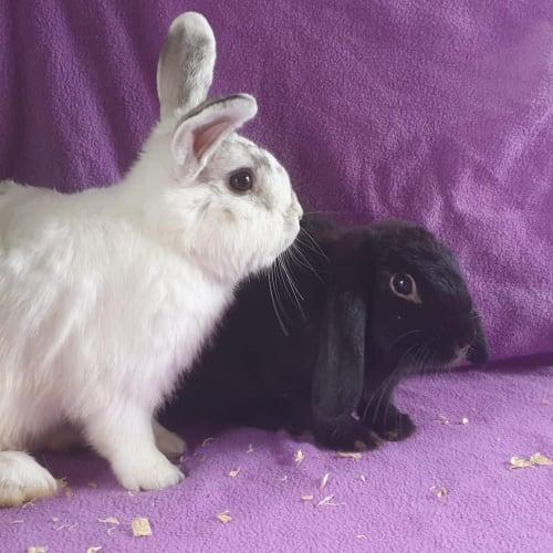 Coal & Jhett - Netherland Dwarf x Dwarf lop Rabbit