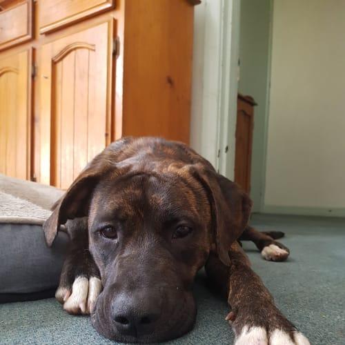 Bronwyn - Staffordshire Bull Terrier x Mastiff Dog