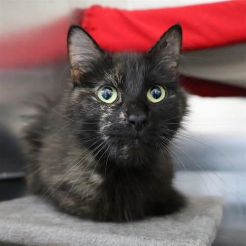 Raven - Domestic Medium Hair Cat