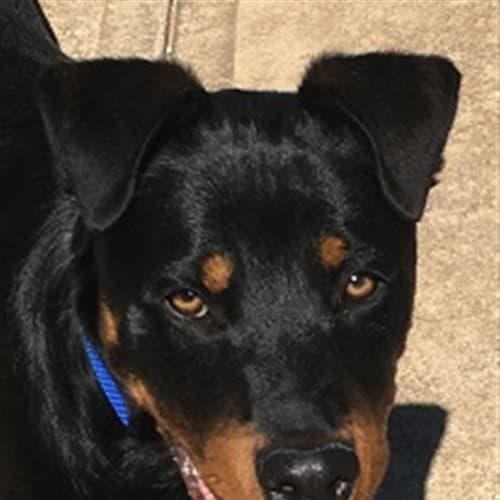 Arnie - Kelpie x Rottweiler Dog