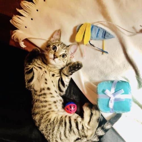 Tempe - Domestic Short Hair Cat