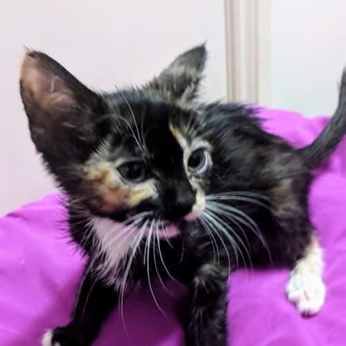 Ewok - Domestic Short Hair Cat