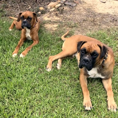 Chase (m/2y) and Ziggy (f/2y) - Boxer Dog
