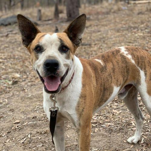 Watson - Australian Cattle Dog