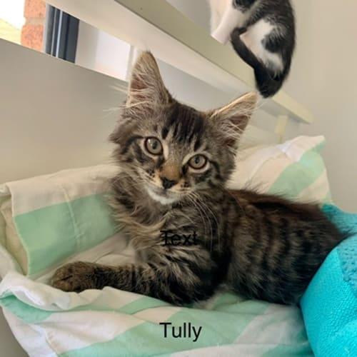 Tully - Domestic Medium Hair Cat