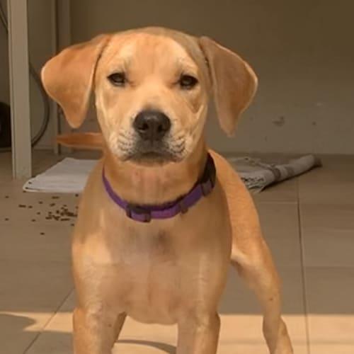 Hugo - Labrador Dog