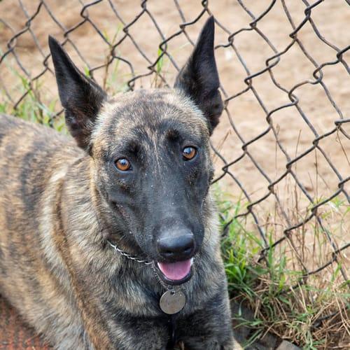 Jessie2 - Belgian Shepherd - Malinois Dog