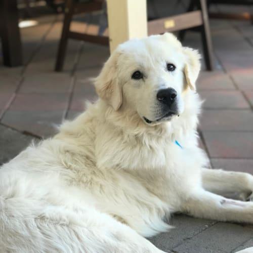 Floyd  - Maremma Sheepdog