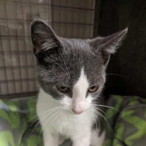 Lando - Domestic Short Hair Cat