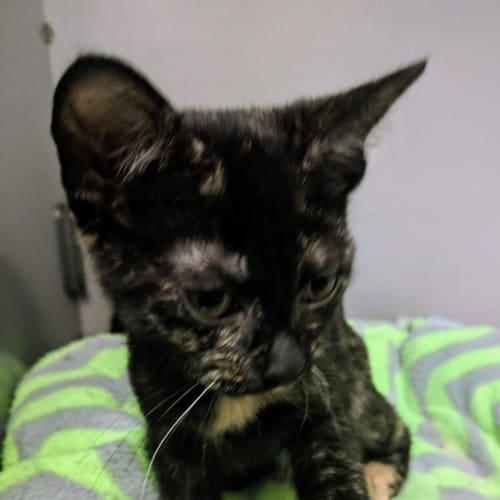 Qira - Domestic Short Hair Cat