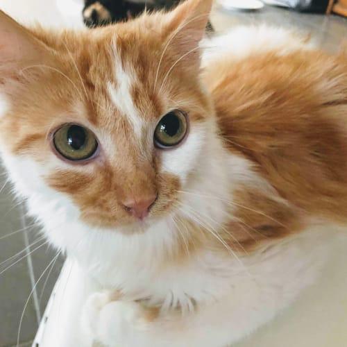 Turbo  - Domestic Medium Hair Cat