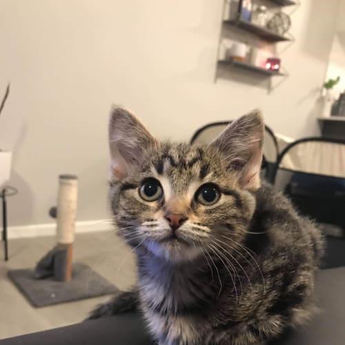 Myrtle - Domestic Short Hair Cat