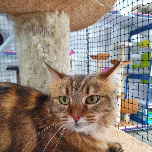 Muffin - Visit Me at PetStock Claremont! - Domestic Medium Hair Cat