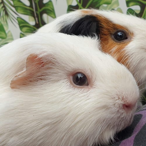 Squish & Bert - Smooth Hair Guinea Pig
