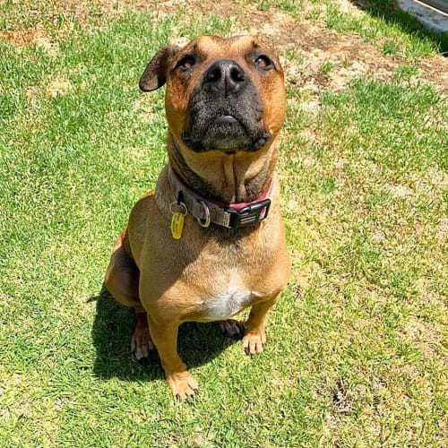 Freya D0126 - American Staffordshire Terrier Dog