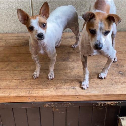 Fifi and Jett bonded pair - Miniature Fox Terrier Dog