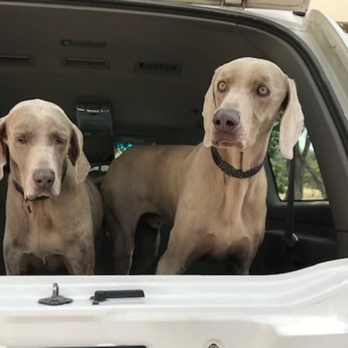 Hilde and Arnold - Weimaraner Dog