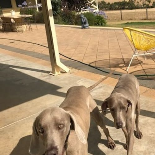 Arnold and Hilde - Weimaraner Dog