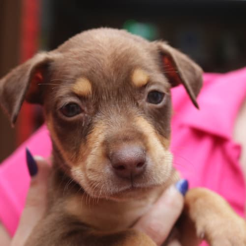 Camii - Kelpie Dog