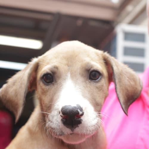 Billie Jean - Wolfhound x Catahoula Dog