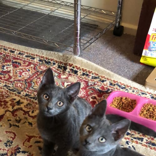 Billy and Lilly - Domestic Short Hair Cat