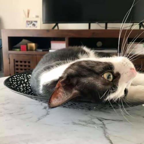Zodiac - Domestic Short Hair Cat