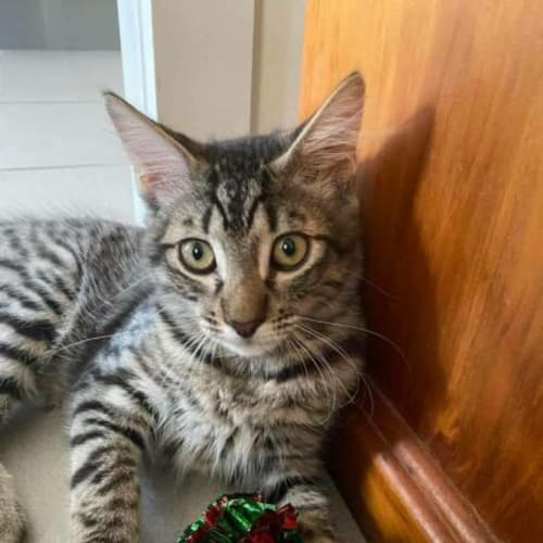 Guiseppe - Domestic Short Hair Cat