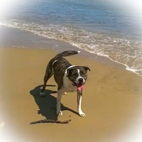 Jackson - Staffy Dog