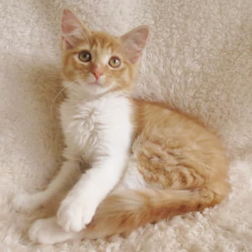 Sherlock - Domestic Medium Hair Cat