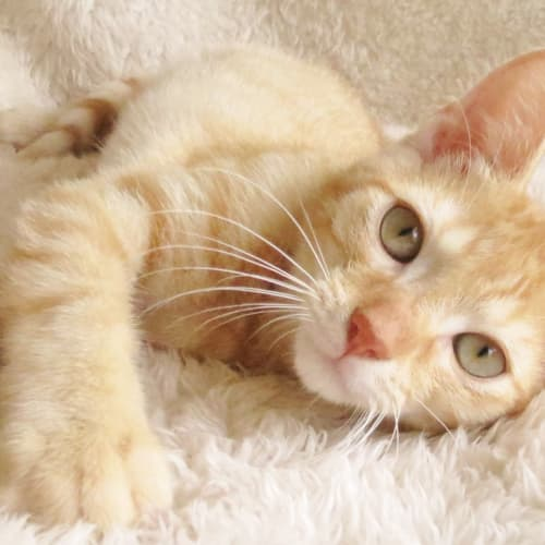 Dingo - Domestic Short Hair Cat
