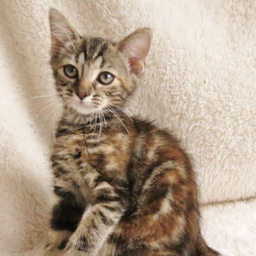 Kismet - Domestic Short Hair Cat