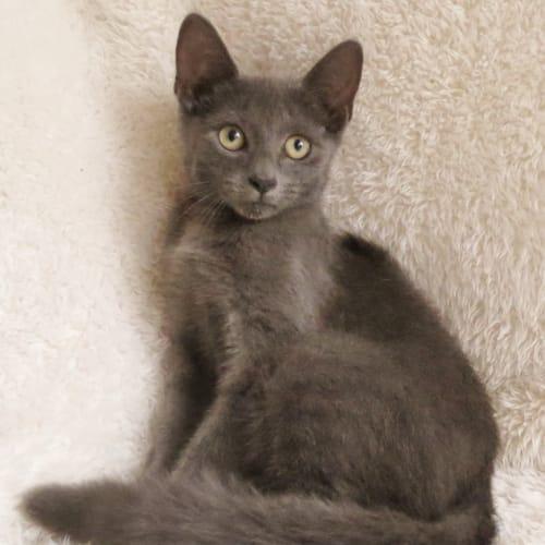 Krum - Domestic Short Hair Cat