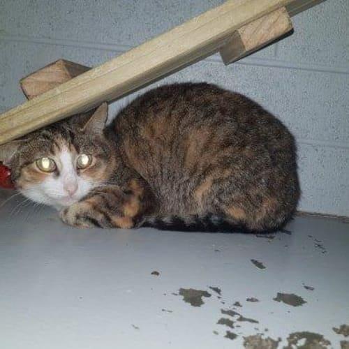 Vaalia - Domestic Short Hair Cat