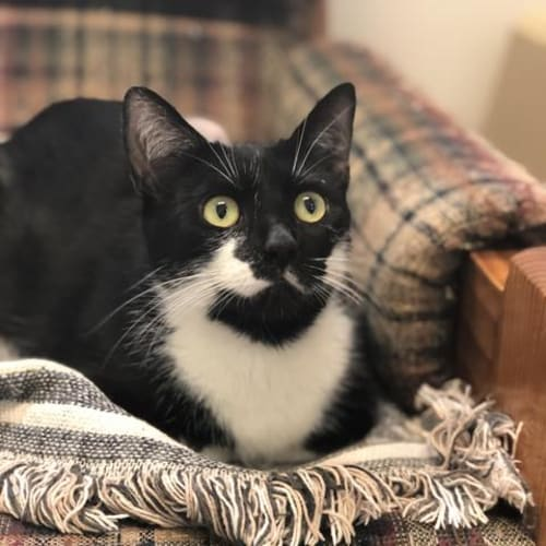 Biscuit - Domestic Short Hair Cat