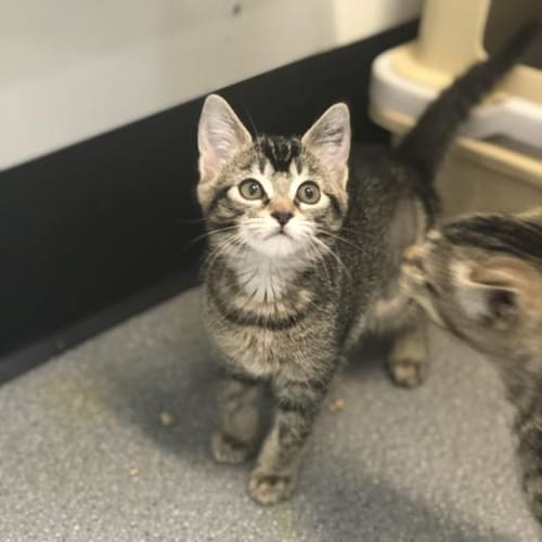 Roma - Domestic Short Hair Cat
