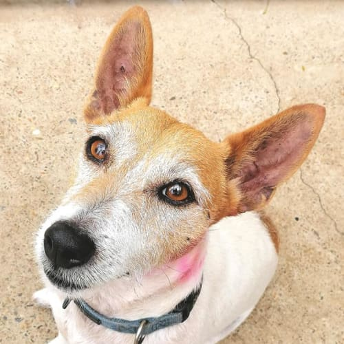 Rusty - Jack Russell Terrier Dog