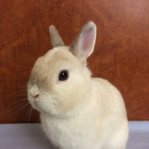 Kirby - Netherland Dwarf Rabbit