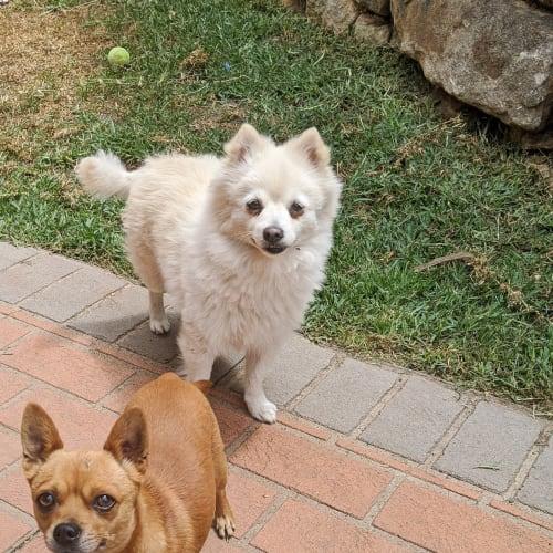 Snowflake and Rubble - Pomeranian x Chihuahua Dog