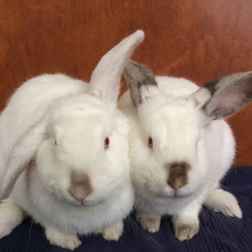 Luna and Ziggy - Dwarf lop Rabbit