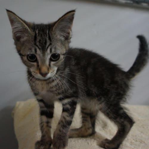 Penny - Domestic Short Hair Cat