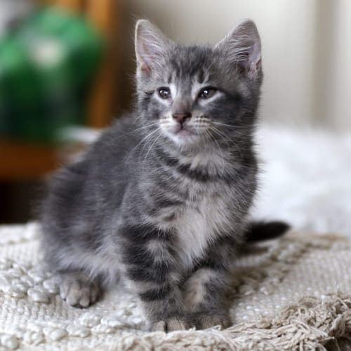 Chips - Domestic Short Hair Cat