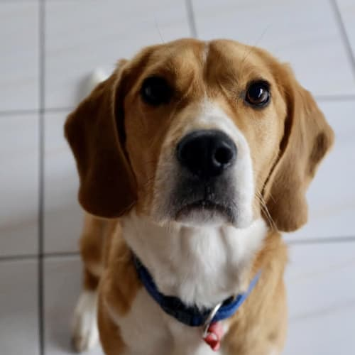 Boston  - Beagle Dog