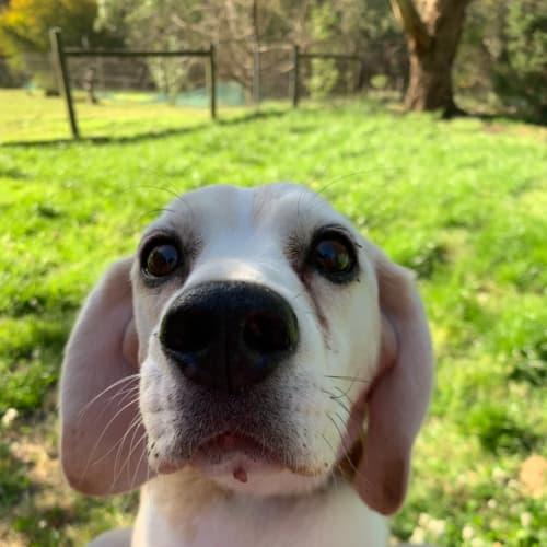 Beth - Beagle Dog