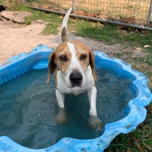 Rick - Beagle Dog