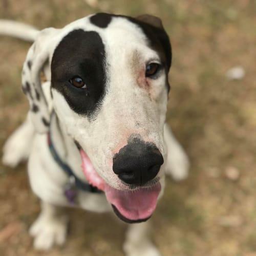 Josie - Great Dane Dog